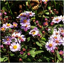 "Aster ageratoides ""Harry Smidt' habitus"