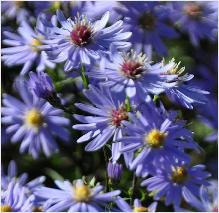 Aster x cordifolius 'Little Carlow'