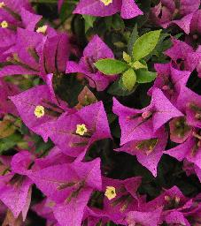 Bougainvillea closeup vnn