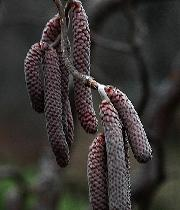 Corylus 'Red majestic'  fleurs masculines - noisetier