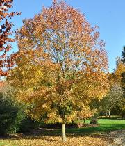 Fraxinus angustifolia 'Flame'