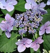 HydrangeamacrophyllaMariesiiPerfectacloseupaug